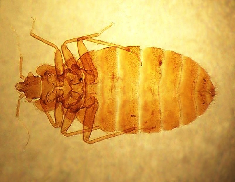 Bed Bugs Develop a Thick Skin