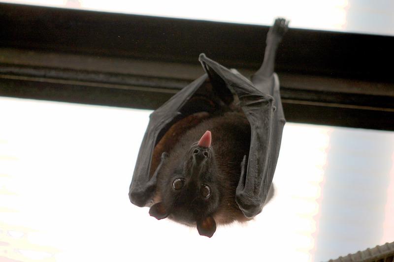 Bat Bugs vs Bed Bugs